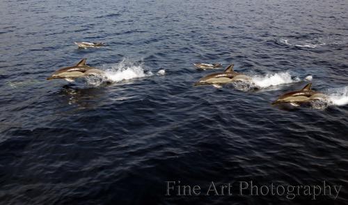 dolphin3-fine art